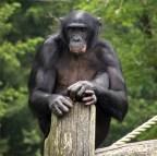 Avatar di Bonobo
